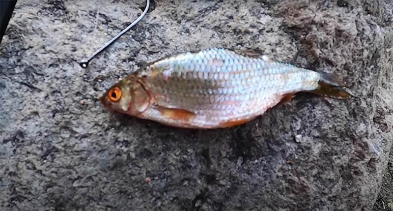 Köderfisch für Zander