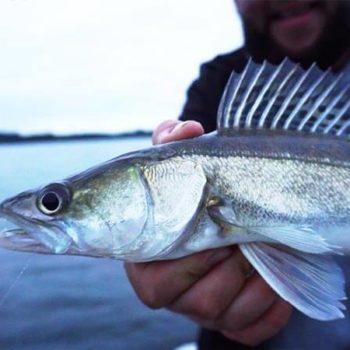 Zanderangeln mit Köderfisch