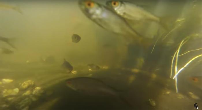 brutfische